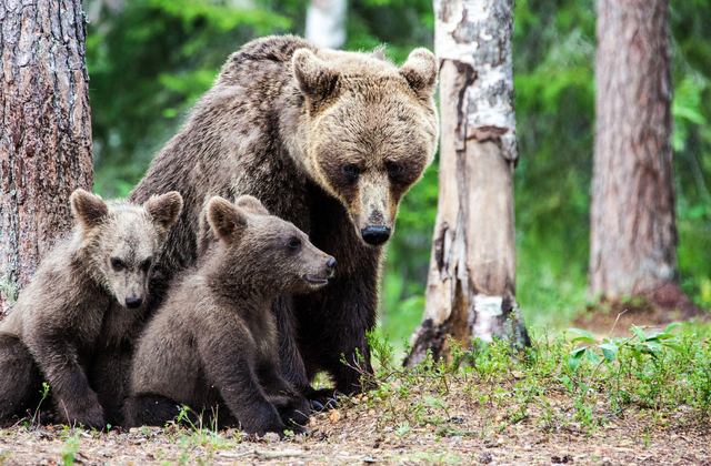 Deaths of mother bear, 3 cubs ruled highly suspicous